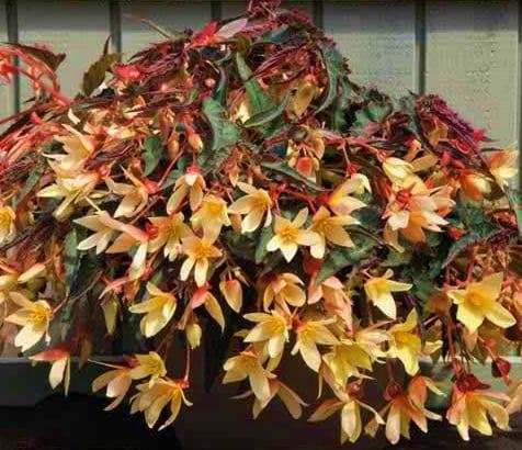 BegoniaBossaNovayellow-02