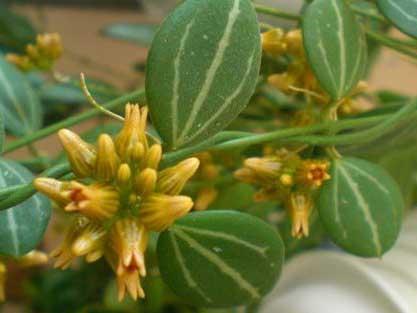 Hoya-Dischidia-Ovata