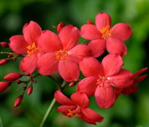 619-Jatropha_integerrima