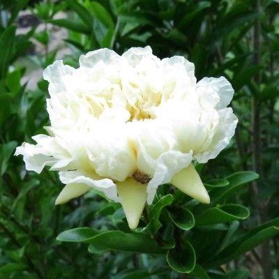 Punica-granatum-Album-Plenum-Grenadier-à-fleurs