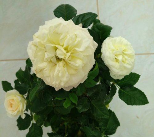 passiflora_caerulea_constance_elliot_-_passibloem