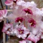 4f44ebeac20c1ac60534a0b40ce2392c—hoya-plants-horticulture