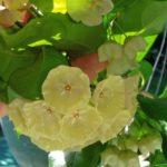 72424666e895bcfbd4acf16a26b2788f—hoya-plants-exotic-flowers