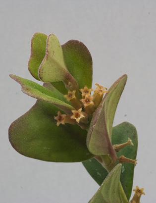 manipurensis