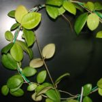 Hoya_ovalifolia_IPPS905002-vi