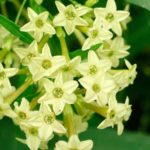 greencestrum2