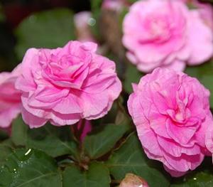 Pink_Aroma_Blossom_E