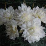 Бегония Belleconia Soft бегония белекония белая white