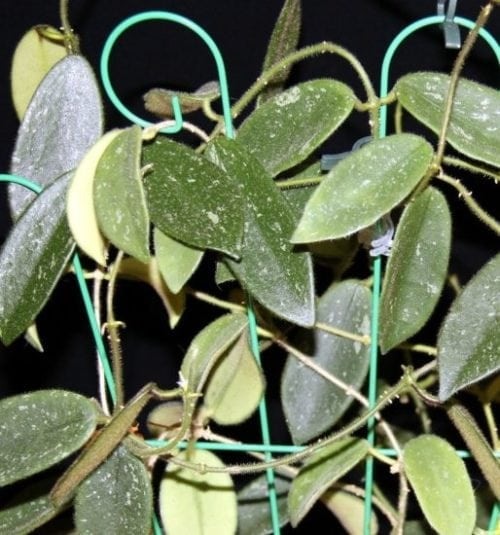hoya thomsonii long leaves