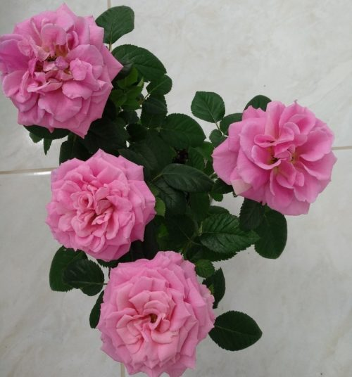 Gardenia-thunbergiaFLW