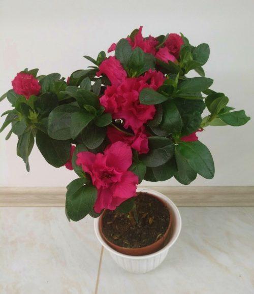 Hoya-archboldiana-Norman—Hoyya-archboldiana