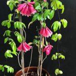 Tecomante rosa trombeta da nova guine tecomanthe dendrophila mudas 2