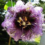 Passiflora elizabeth