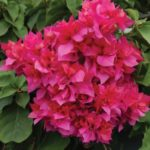 bougainvillea_Double_Red