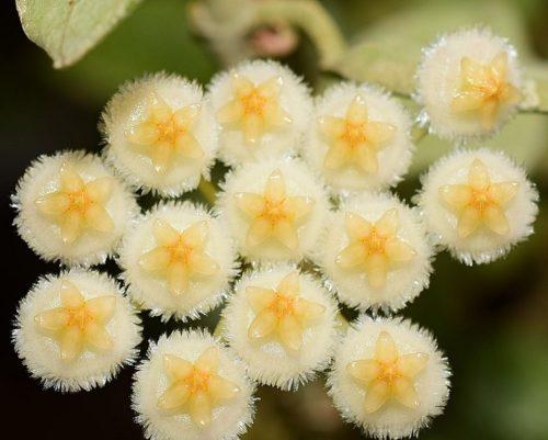 Hoya-lacunosa-Silver-Leaves