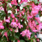 mini_Begonia-fuchsioides