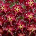 mindorensis purple star2